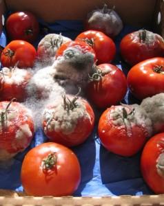 rotten tomatoes photo: Rotten tomatoes rottentomatoes.jpg